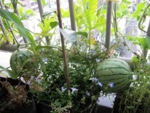 Можно ли вырастить арбуз на балконе