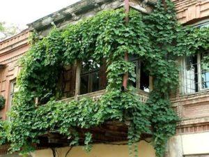 Вьющиеся растения для балкона быстрорастущие