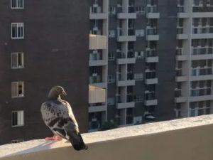 Очистить балкон от голубиного помета