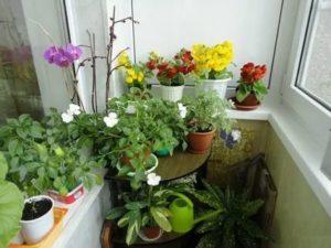 Когда можно выносить на балкон комнатные цветы