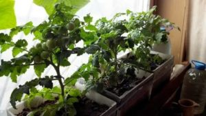Как вырастить арбуз дома на подоконнике