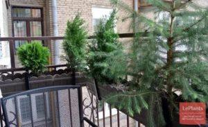 Можжевельник на балконе зимой